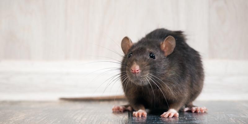 rat standing on the floor